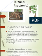 Cultivo de Yuca.pptx