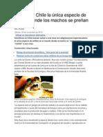 Peligra en Chile la única especie de anfibio donde los machos se preñan
