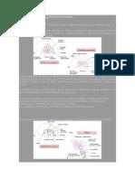 Desarrollo de la glándula tiroides
