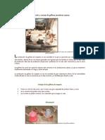 Producción y manejo de gallinas ponedoras caseras