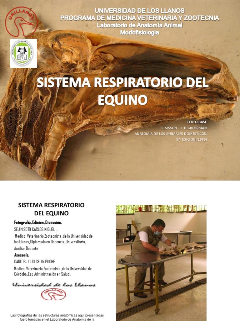 DISECCION ANATOMICA DE LAS VIAS RESPIRATORIAS ALTAS DEL EQUINO ...