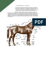 Anatomia Del Caballo