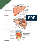 Gambar Anatomi Kandung Empedu