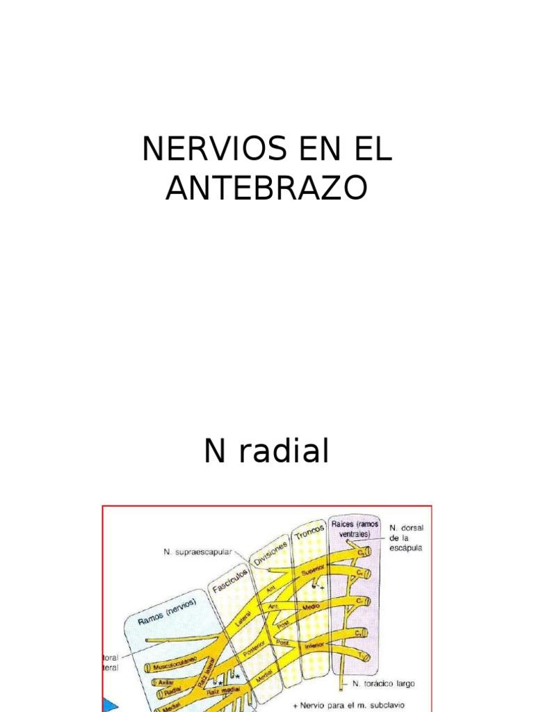 Nervios en El Antebrazo