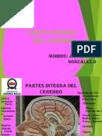 Corte Interno Del Cerebro