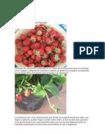 El Cultivo de Las Fresas
