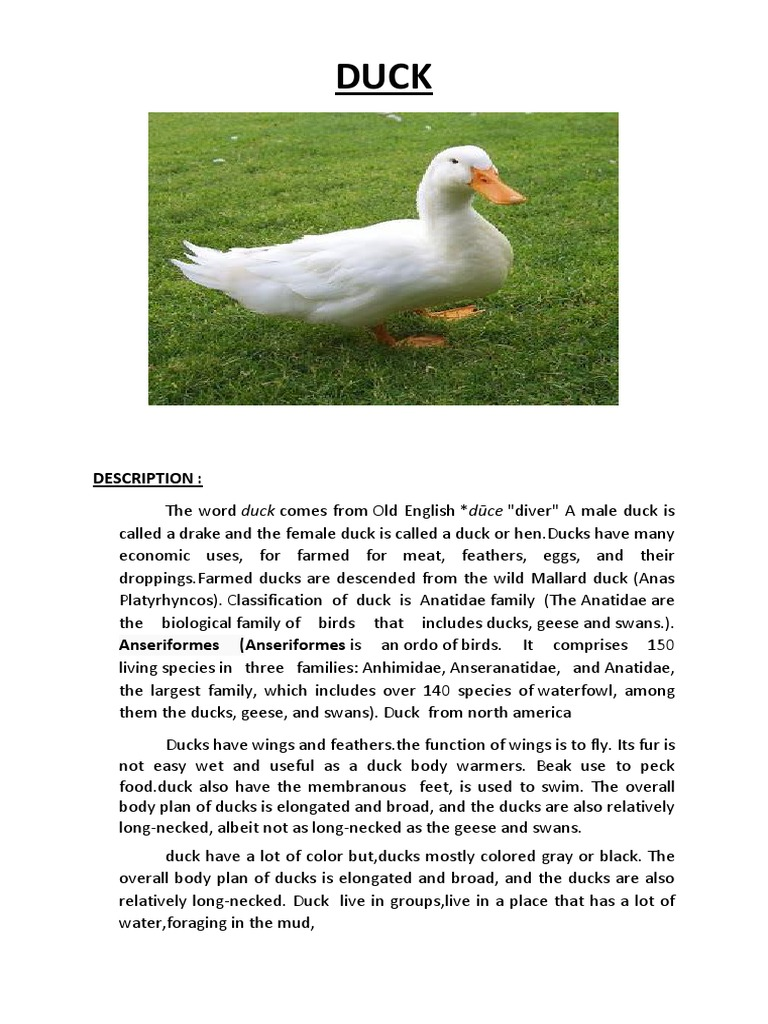 Uncategorized Report Text Animals report text about duck1 duck anatidae