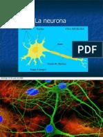 3-Circuitos-neuronales