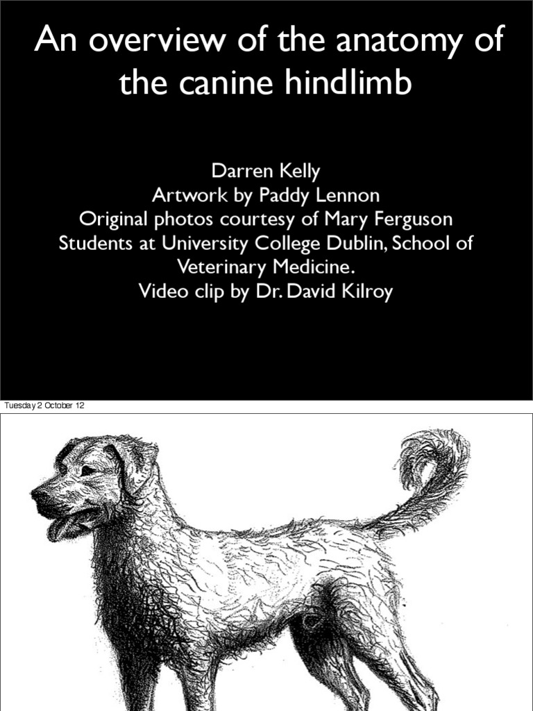 Anatomy of the Canine Hindlimb | Pelvis | Hip