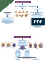 Mapa Conceptual El Desarollo Embrionario