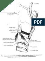 musculos  aritenoideos