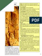 Artera Maxilara Artera Temporala Supf Artera Faciala Inelul Cuneo