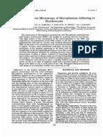 Scanning Electron Microscopy of Mycoplasmas Adhering to erythrocytes.pdf