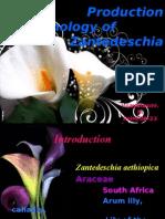 Production Technology of Zantedeschia