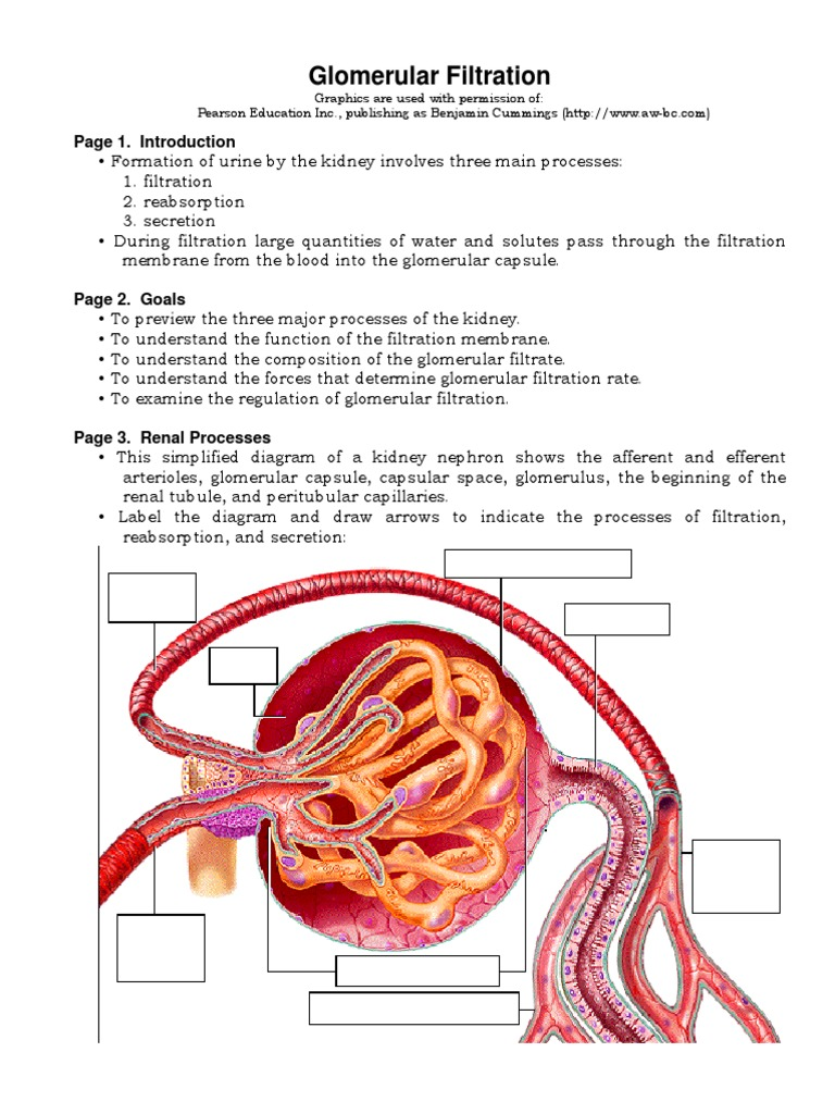 Glomerular Filtration | Anatomy | Animal Anatomy