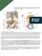 Resumo Anatomia Pelve