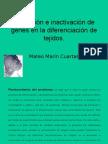 Activación e inactivación de genes en la diferenciación de tejidos.