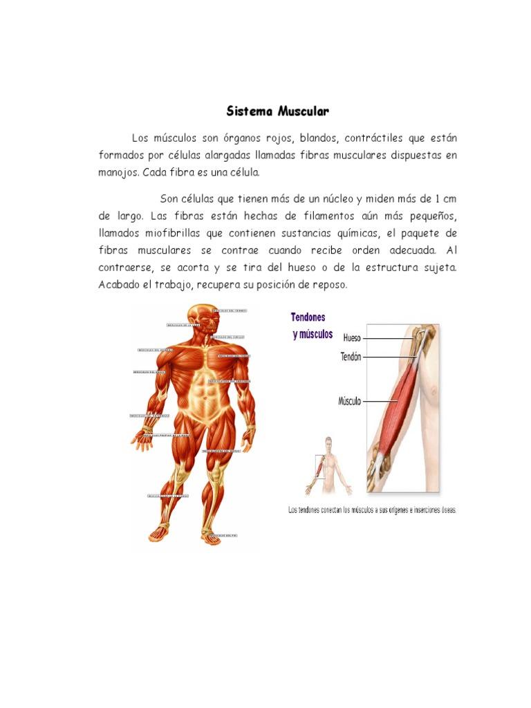 Moderno Anatomía De La Fibra Muscular Inspiración - Imágenes de ...