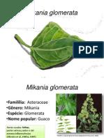 Mikania glomerata