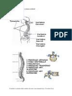 57067041 Anatomia e Fisiologia Della Colonna Vertebrale