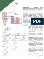 Fisiologia -  Glândula Adrenal