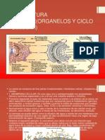 Estructura Celular(Organelos y Ciclo Celular)