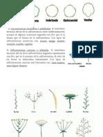 Prefloraciones e Inflorescencias