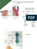 Secreción de proteínas y la partícula de reconocimiento.pptx