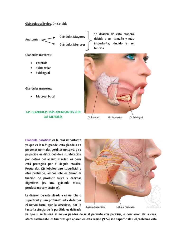 Dorable Anatomía De La Glándula Salival Submandibular Imágenes ...