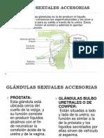 GLÁNDULAS SEXUALES ACCESORIAS(bovino)