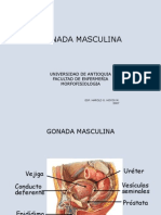 Gonada_Masculina[1]