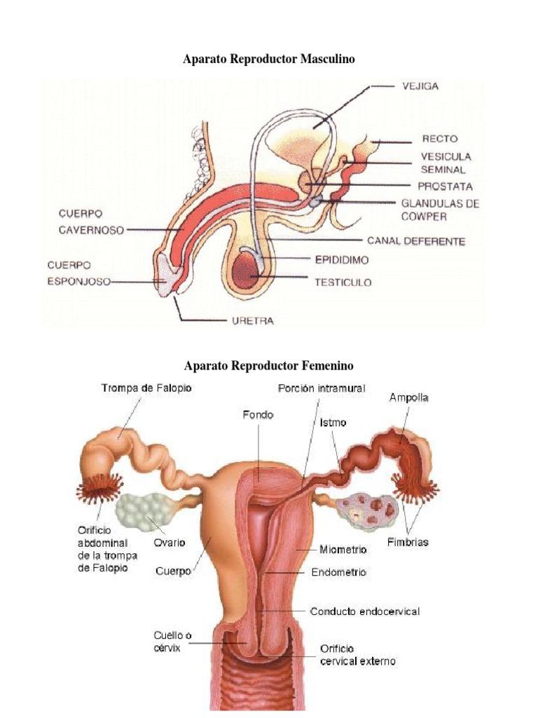 Fantástico Sistema De Anatomía Del Aparato Reproductor Masculino Y ...