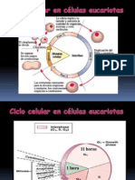 Ciclo Celular Cancer 3