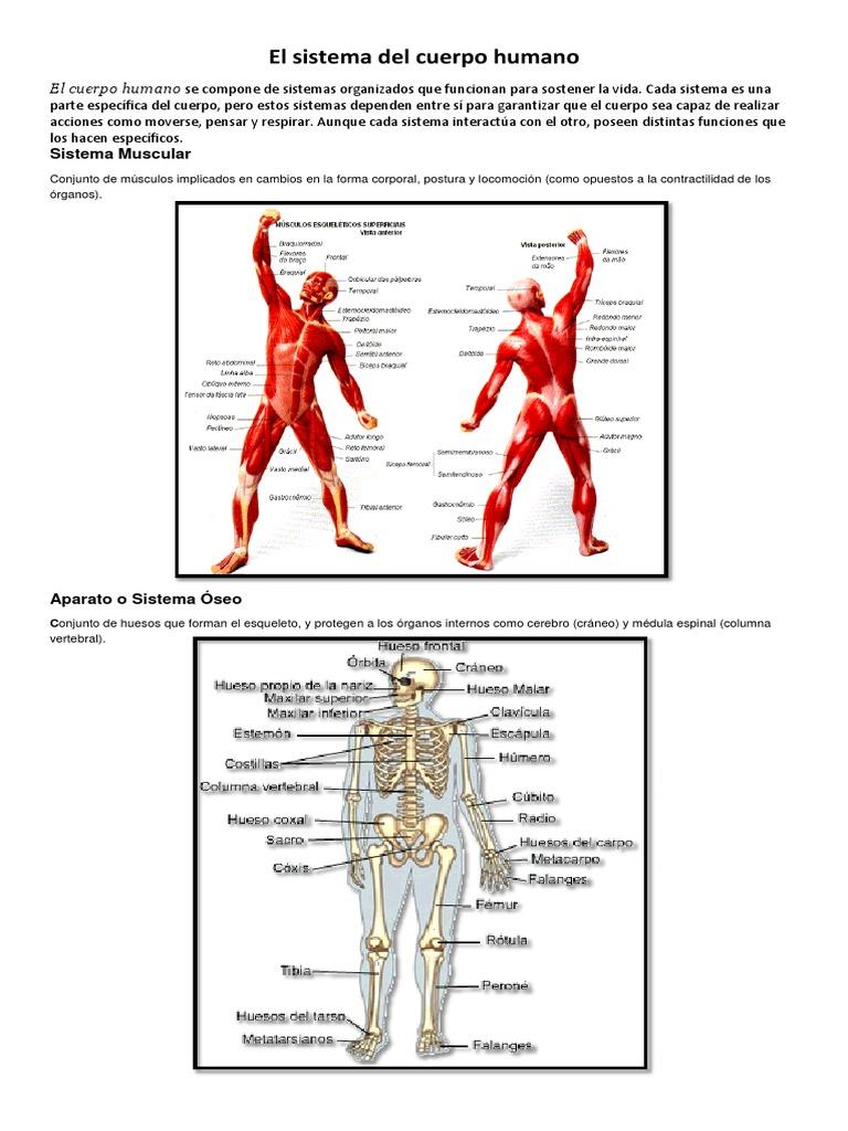 El Sistema Del Cuerpo Humano