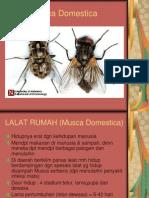 Lalat,Musca Domestica