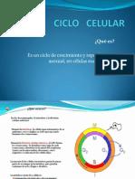 4ciclo Celular