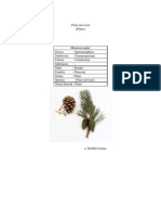 Pinus Mercusii