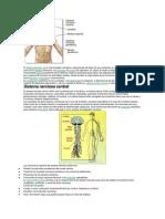 Sistema Nervioso y Fucniones Corticales Superiores