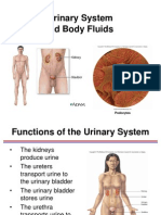 Urinary System Ppt