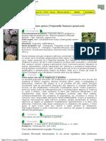 Fieno Greco,Trigonella Foenum Graecum