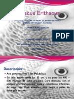 Psittacus Erithacus
