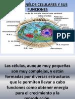 losorganeloscelularesysusfunciones-130722112033-phpapp02
