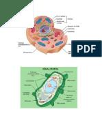 Celula Animal y Vegetal y Sus Partes