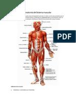 Anatomía del Sistema muscular