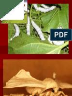 Presentation on Silkworm