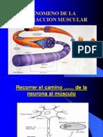 Fenomeno de La Contraccion Muscular