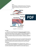 Organelos Fibra Muscular