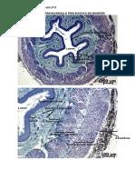 Histologie Si Embriologie Animala - Imagini LP 9