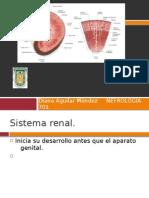 Desarrollo Embrionario Del Sistema Renal