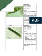 Klasifikasi Plankton
